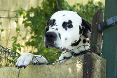 Dalmatian dog. A dalmatian dog looking beyond the fence. A beautiful Dalmatian dog head portrait with cute expression stock photography