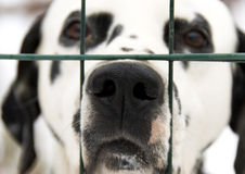 Dalmatian dog. A dalmatian dog looking beyond the fence. A beautiful Dalmatian dog head portrait - the focus is on nose royalty free stock image