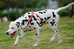 Dalmatian dog royalty free stock images
