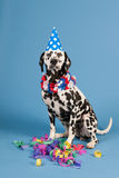 Dalmatian dog as birthday animal on blue background Royalty Free Stock Images