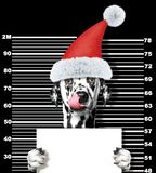 Dalmatian dog as santa claus in prison. Isolated on black royalty free stock photos