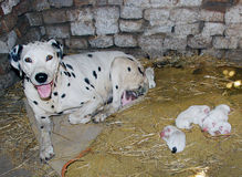 Dalmatian dog, WITH BABES newborn ONLY ONE DAY. The BEBE Dalmatian dog, newborn ONLY ONE DAY stock images