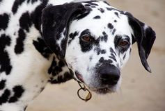 Dalmatian dog on the beach close up. Stock Images