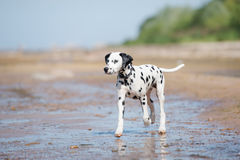 Dalmatian dog on the beach. Dalmatian puppy walking on the beach Stock Image