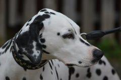 Dalmatian Dog royalty free stock photography