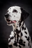 Dalmatian dog,  on black Stock Images