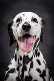 Dalmatian dog on black Stock Images