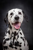 Dalmatian dog on black Stock Photo