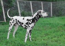 Dalmatian dog Royalty Free Stock Photos