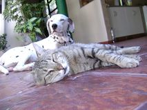 Dalmatian dog and cat friendship royalty free stock images