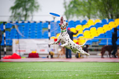 Frisbee Dalmatian dog catching Stock Photos