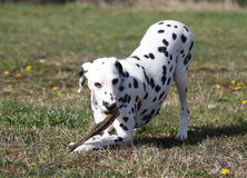 Dalmatian dog chewing on a stick royalty free stock images
