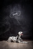 Dalmatian dog dreaming about a bone Stock Photo