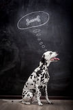 Dalmatian dog dreaming about a bone Royalty Free Stock Photos