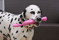 Dalmatian dog with a gift. Female champion Dalmatian dog bitch Everwood Daisy Peach carrying a gift which is wrapped up in pink wrapping paper Royalty Free Stock Image