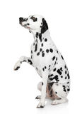 Dalmatian dog gives paw Stock Photo