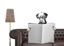 Dalmatian dog with glasses reading newspaper with space for text on sofa in living room. Isolated on white Royalty Free Stock Photography