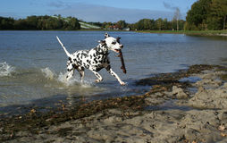Dalmatian dog having fun. Royalty Free Stock Image