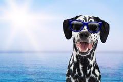 Dalmatian Dog Having Fun At Beach Royalty Free Stock Image