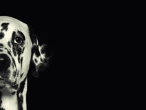Dalmatian dog head against a black background Royalty Free Stock Photography