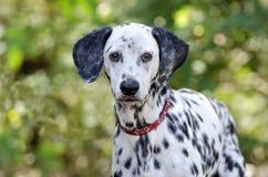 Dalmatian dog head closeup looking Stock Image
