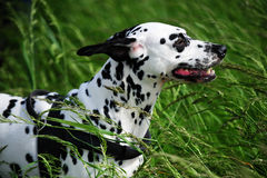 Dalmatian dog in high green grass. Dalmatian dog in the high green grass in the windy day Royalty Free Stock Images