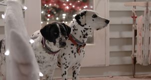 Dalmatian Dog and Hunting Dog with Christmas Decorations stock video footage