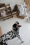 Dalmatian dog in the interior of the artistic workshop Stock Images