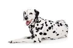 Dalmatian dog, isolated on white Royalty Free Stock Photography