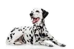 Dalmatian dog, isolated on white Stock Photography