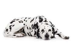 Dalmatian dog, isolated on white Stock Photos