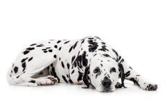 Dalmatian dog, isolated on white Stock Photos