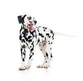 Dalmatian dog, isolated on white Royalty Free Stock Photography
