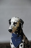 Dalmatian Dog in jeans cravat. Portrait on a light background with free space for text or design Stock Photos