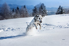 Dalmatian dog jumping in snow. Dalmatian dog running and jumping in snow Royalty Free Stock Images