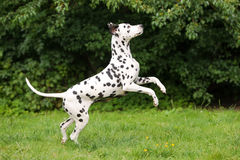 Dalmatian dog jumping up Stock Image