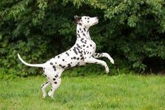 Dalmatian dog jumping up Stock Image