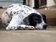 Dalmatian dog laying on a floor Royalty Free Stock Photos