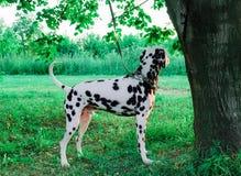 Dalmatian dog Royalty Free Stock Photo