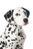 Dalmatian dog looking up portrait Stock Photos