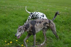 Dalmatian dog Stock Image