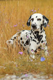 Dalmatian dog is lying in a colorful flowerfield Stock Images