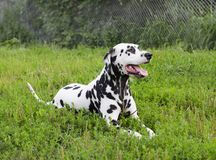 Dalmatian dog lying on green grass Royalty Free Stock Images