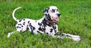 Dalmatian dog. Lying on the street Stock Photos