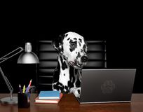 Dalmatian dog manager is doing some work on the computer. Isolated on black. Background Stock Photos