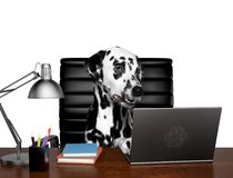 Dalmatian dog manager is doing some work on the computer. Isolated on white. Background royalty free stock photo