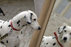 Dalmatian dog and mirror Stock Image