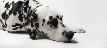 Dalmatian dog misses Stock Images