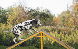Dalmatian dog in nature. On the training ground is jumping through a barrier in the form of slides Royalty Free Stock Image