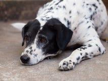 Dalmatian dog no purebred Royalty Free Stock Photo